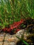 Drosera rotundifolia Chaîne de Belledonne