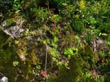Sempervivum montanum subsp. montanum Chaîne de Belledonne