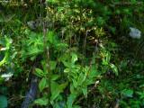 P.grandiflora ssp. rosea 1440m .Chaîne de Belledonne,Isère.