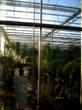 "Drosera pallida ""Type,northern woodlands form"""