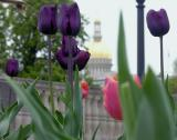 Tulips And State Capitol