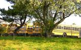 School Busses In Spring