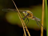 Four Spotted Libellula 5