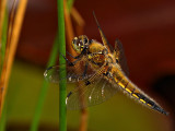 Four Spotted Libellula 3
