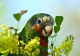 Grand Cayman Parrot