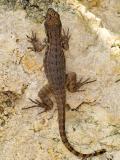 Lion Lizard (Leiocephalus carinatus varius) 5