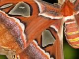 Atlas Moth (Attacus atlas) 1