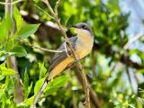 Mangrove Cuckoo (Coccyzus minor) 1