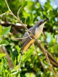 Mangrove Cuckoo (Coccyzus minor) 2