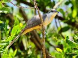 Mangrove Cuckoo (Coccyzus minor) 3