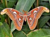 Atlas Moth (Attacus atlas) 2