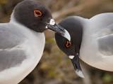 Swallow-tailed Gulls (Creagrus furcatus) 1