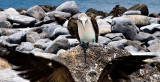 Blue-footed Booby Skirmish