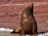 Bull Galápagos Sea Lion (Zalophus californianus) 2