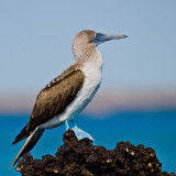 Blue-footed Booby (Sula nebouxii) 7