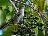 Caribbean Elaenia (Elaenia martinica)? 2