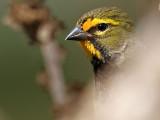 Yellow-faced Grassquit (Tiaris olivaceus)