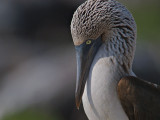 Blue-footed Booby (Sula nebouxii) 8