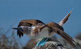 Blue-footed Booby (Sula nebouxii) 9