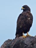 Galápagos Hawk, (Buteo galapagoensis) 2