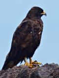 Galápagos Hawk, (Buteo galapagoensis) 1