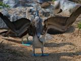 Blue-footed Boobies (Sula nebouxii) 4