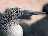 Blue-footed Booby (Sula nebouxii) 10