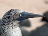 Blue-footed Booby (Sula nebouxii) 11