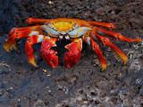 Sally Lightfoot Crab (Grpsus grapsus) 2