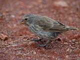 Female ? Ground Finch