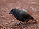 Male ? Ground Finch