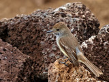 Galápagos (Large-billed) Flycatcher - (Myiarchus magnirostris) 4