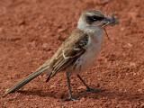 Galápagos Mockingbird (Nesomimus Parvulus Personatus)