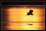 Eagle lift-off over frozen lake