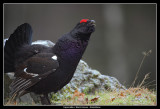 Capercaillie x Black Grouse, Sweden
