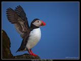 Puffin stretching, Iceland