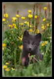 Juvenile arctic fox