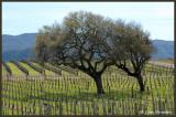 The Gainey Vineyard & Winery in March