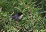 Sardinean Warbler - Sylvia melanocephala - Curruca cabecinegro - Tallarol capnegre
