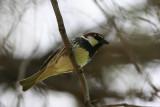 Spanish Sparrow - Passer hispaniolensis - Garrión moruno - Pardal de Passa