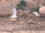 Black Tern - Chlidonias niger - Fumarel Negro - Fumarell negre