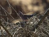 Laughing Dove - Streptopelia senegalensis - Tortola senegalesa - Tortora del Senegal