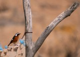 Adult male Moussier's Redstart - Phoenicurus moussieri - Colirojo diademado - Rougequeue de Mossier - Cotxa diademada