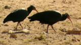 Bald Ibis - Geronticus eremita - Ibis calvo