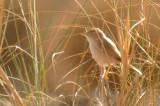 Desert Warbler - Sylvia nana saharae