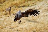Griffon Vulture and fox - Gyps fulvus - Voltor comú i guineu - Buitre leonado y zorro - Gåsegrib
