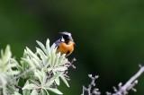 Adult male White-throated Robin - Irania gutturalis