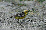 Adult male Citrine Wagtail - Matocilla citreola