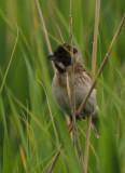 Reed Bunting - Emberiza schoeniculus caspia