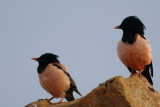 Adults Rose-coloured Starling - Sturnus roseus